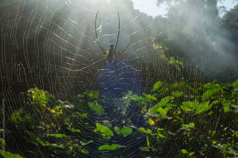 Spider cobweb. by Chalit Saphaphak for Stocksy United