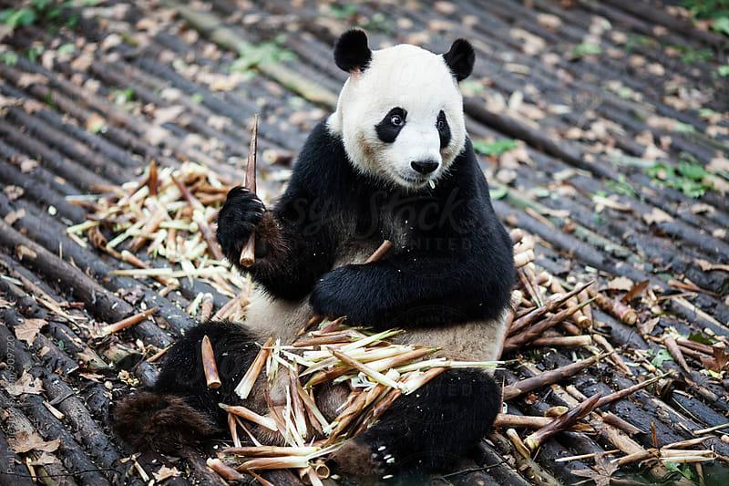 Panda in Chengdu by Paul Ratje for Stocksy United