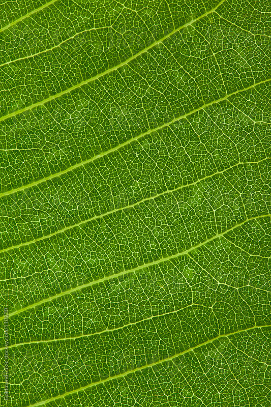 Leaf Texture by Goldmund Lukic for Stocksy United