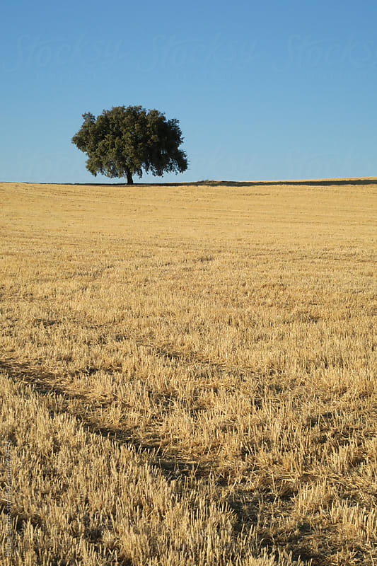 A tree surrounded by a wheat field, Granada by Bisual Studio for Stocksy United