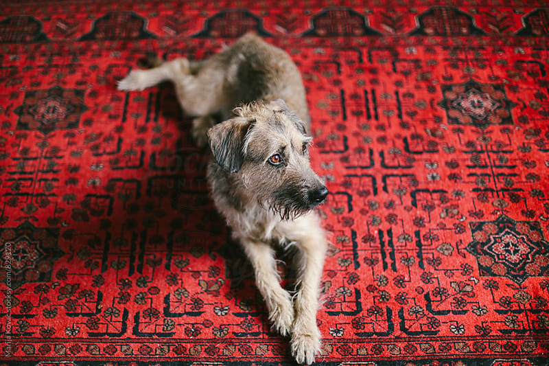 Dog lying on a red carpet - horizontal by Marija Kovac for Stocksy United
