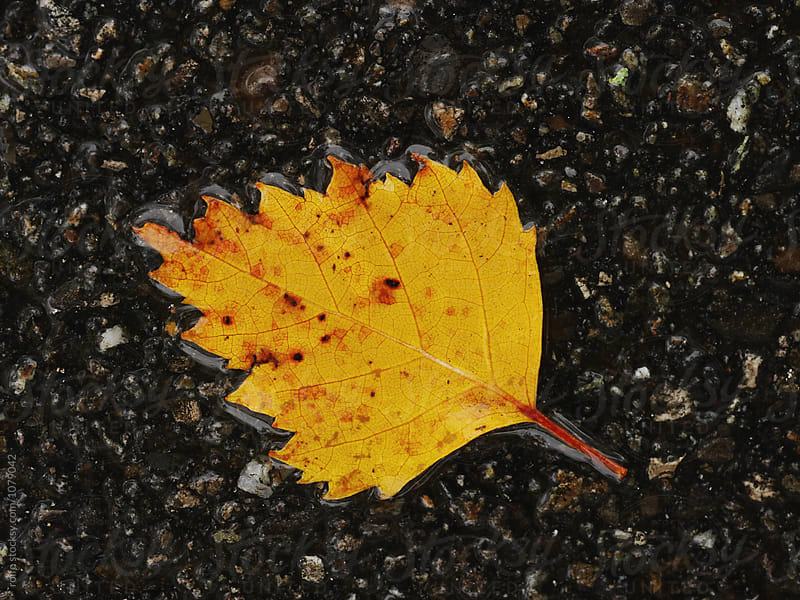 Yellow leaf on wet asphalt by rolfo for Stocksy United