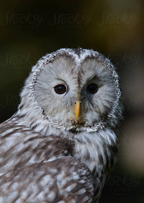 Ural owl by Gabriel Ozon for Stocksy United