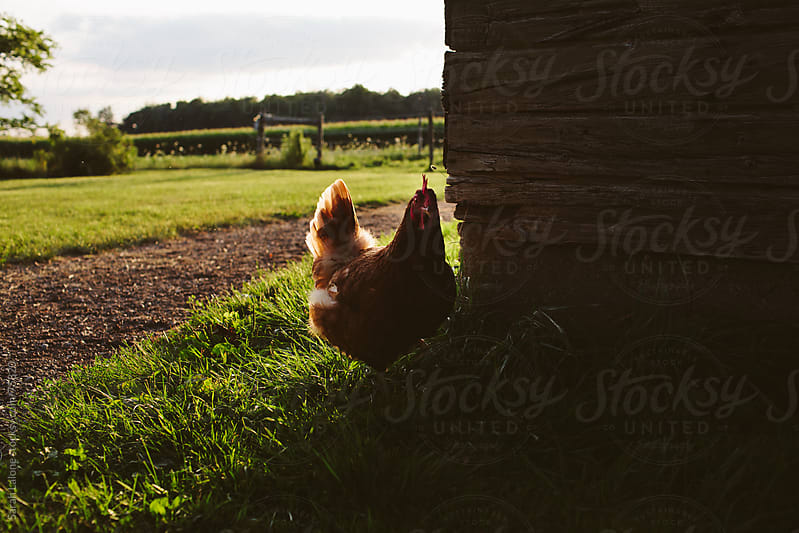 a little chicken hiding behind a barn by Sarah Lalone for Stocksy United