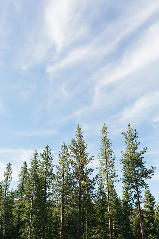 Pine trees with a blue cloudy sky backgraound by Amy Covington for Stocksy United