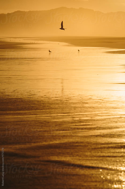 Seagulls on a golden coastal beach by Robert Lang for Stocksy United
