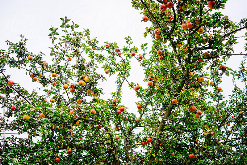 Apple tree by J.R. PHOTOGRAPHY for Stocksy United