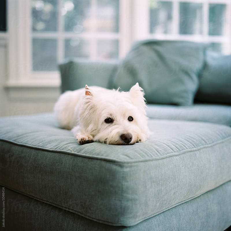 Cute small white dog laying on an ottoman by Jakob for Stocksy United