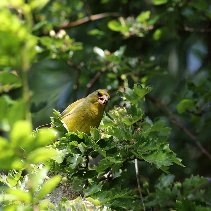 Greenfinch eating caterpillars by Marcel for Stocksy United