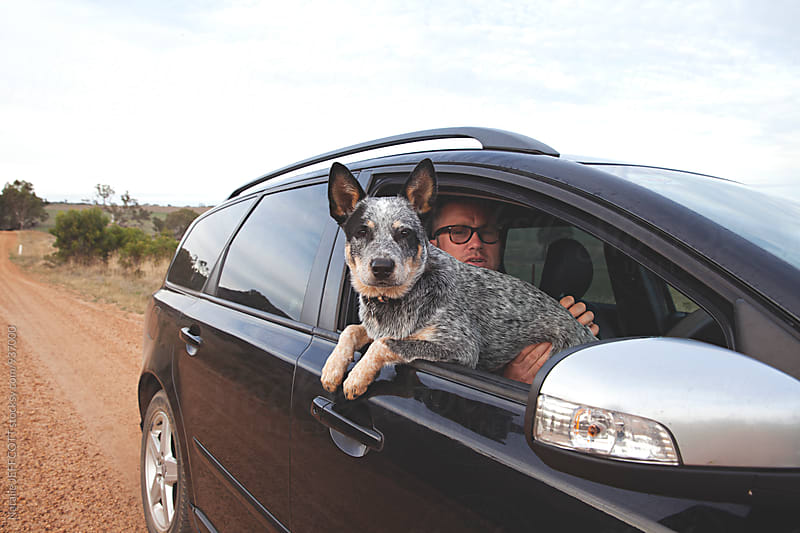 A young Australian blue heeler dog  with her head out of the car window by Natalie JEFFCOTT for Stocksy United