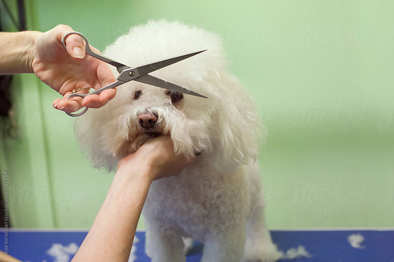 Dog getting a haircut by skye torossian for Stocksy United