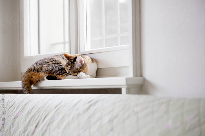 Siesta time: calico cat sleeps rolled up on windowsill in living room by Laura Stolfi for Stocksy United