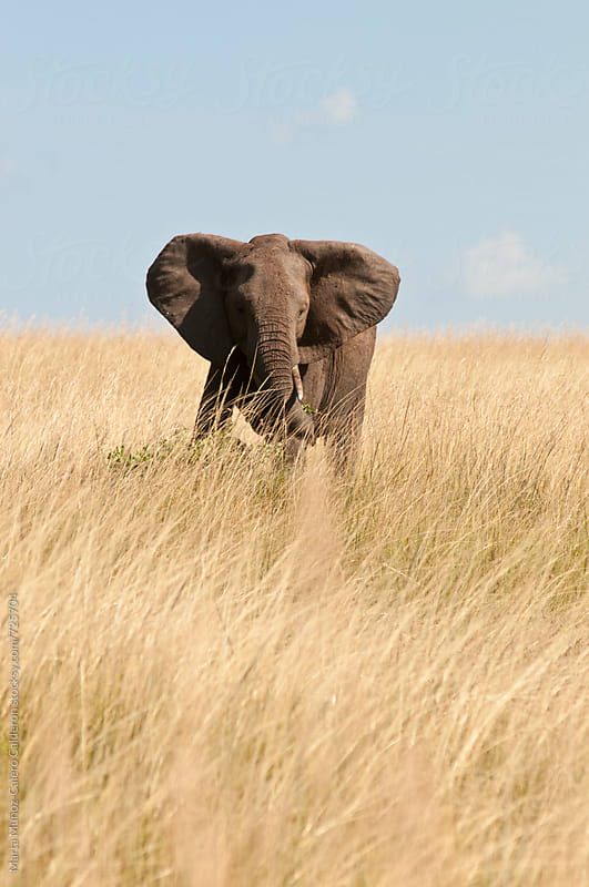Elephant in an area of dry grass, Kenya by Marta Muñoz-Calero Calderon for Stocksy United