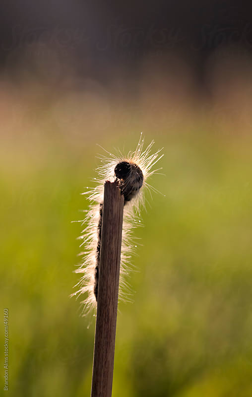 Caterpillar Crawling on a Stick in the Morning Sunlight by Brandon Alms for Stocksy United
