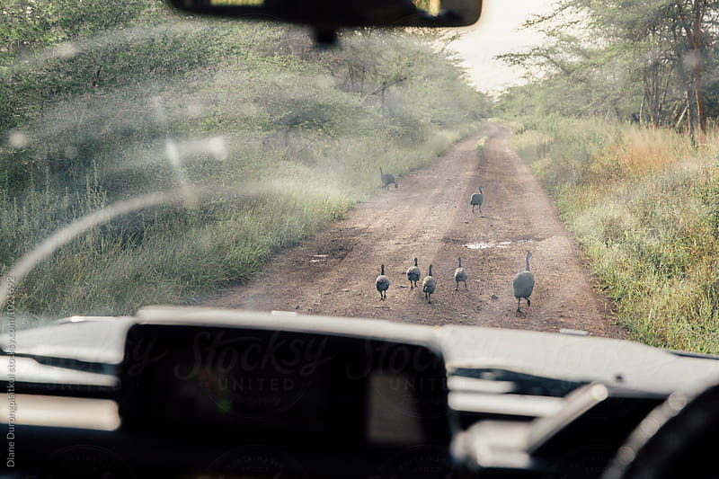 Family of Birds walk on the road by Diane Durongpisitkul for Stocksy United