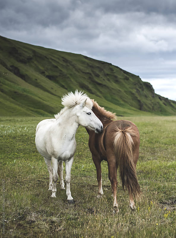 islandic horses by Andreas Gradin for Stocksy United