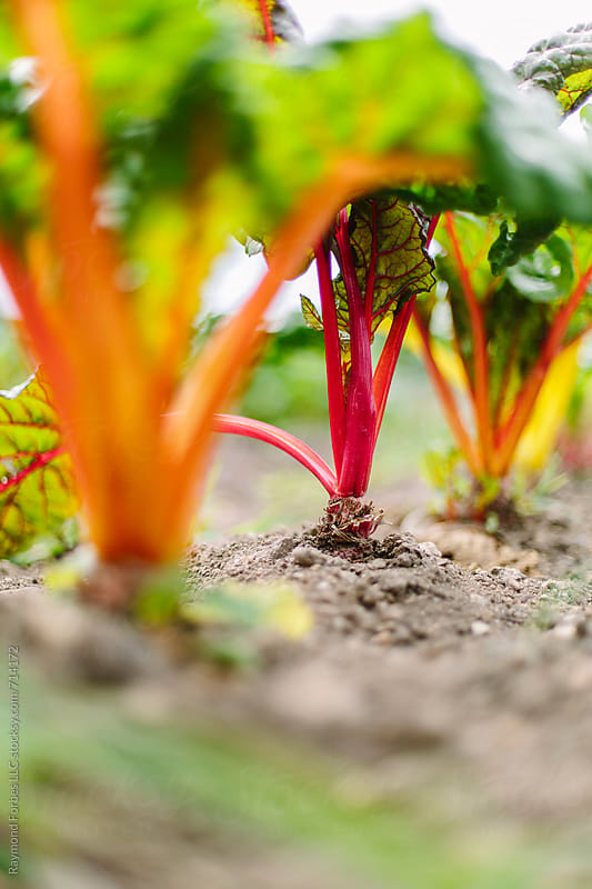 Rainbow Chard by Raymond Forbes LLC for Stocksy United