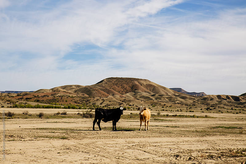 Two cows in a dry desert by Gary Parker for Stocksy United