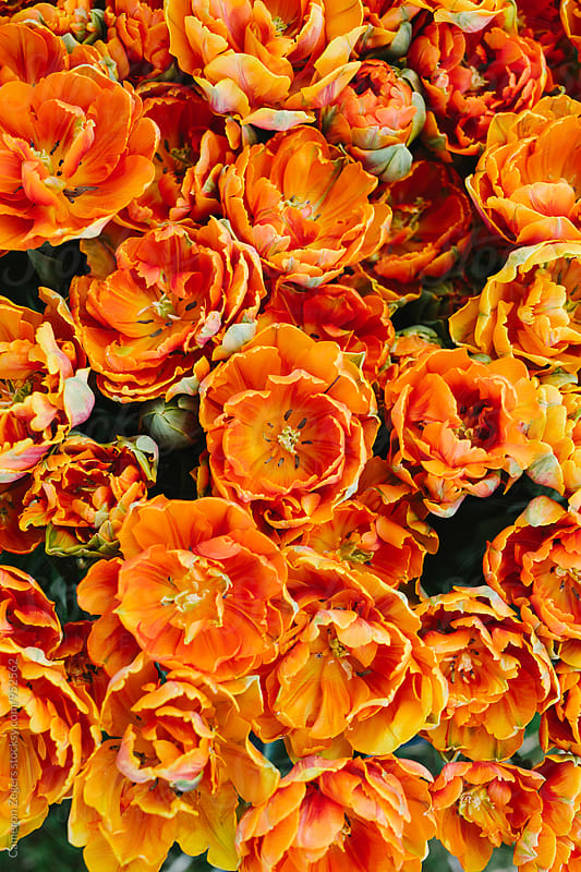 group of orange tulips in spring by Cameron Zegers for Stocksy United