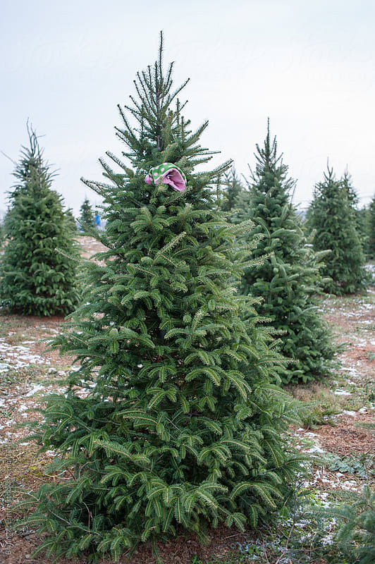 Christmas Tree Hunting: Tree Marked with a Winter Cap by Brian McEntire for Stocksy United