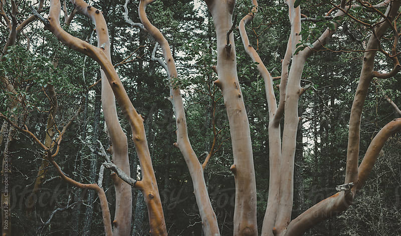 Spooky arbutus tree trunks by Rob and Julia Campbell for Stocksy United