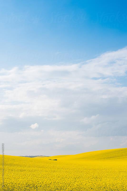 Rapeseed Field Landscape by Nemanja Glumac for Stocksy United
