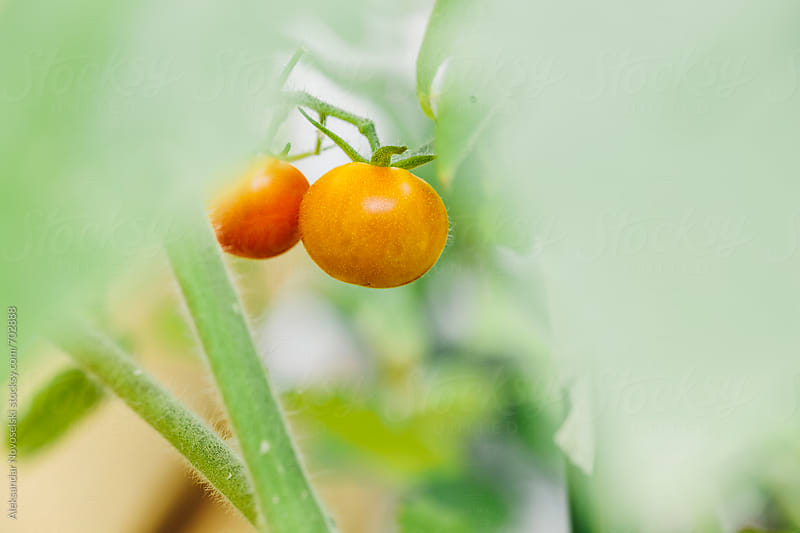 Close up of two red cherry tomatoes, homegrown by Aleksandar Novoselski for Stocksy United