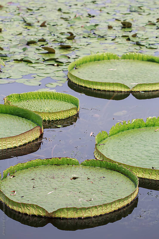 royal water lily by zheng long for Stocksy United