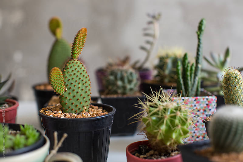 Closeup of a mini indoors garden of cacti and other succulents in colorful pots  by Jovo Jovanovic for Stocksy United