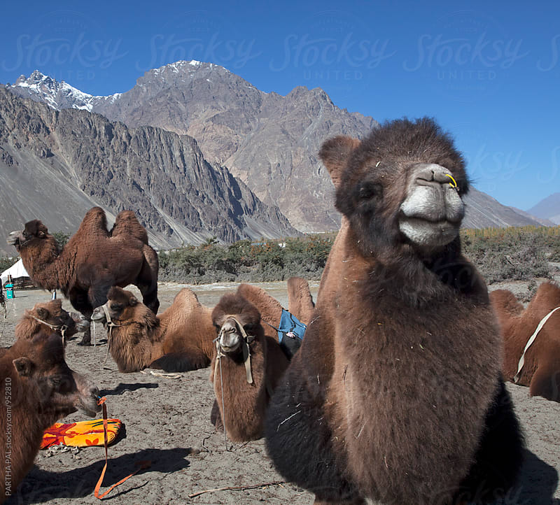 Two humped Bactrian camel in Nubra Valley,Ladakh by PARTHA PAL for Stocksy United