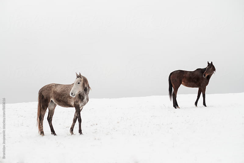 Horses on the Snow by Branislav Jovanović for Stocksy United