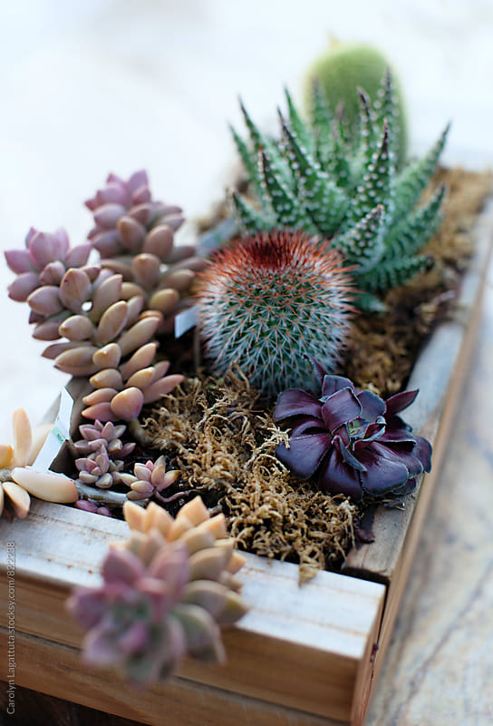 Wooden planter with cactus plants and succulents by Carolyn Lagattuta for Stocksy United