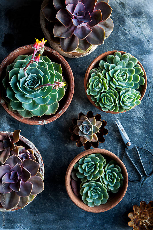 Green, grey and purple succulents planted in rusty pastry baking tins and terracotta planters by Nadine Greeff for Stocksy United