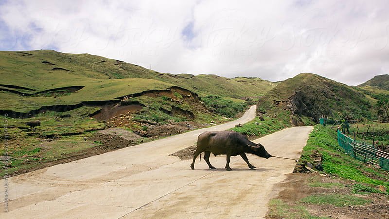 Why did the carabao cross the street?  by Lawrence del Mundo for Stocksy United