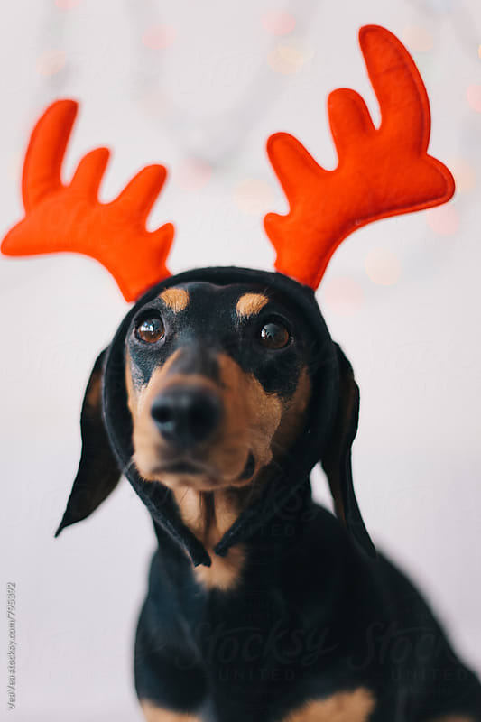 Adorable dog wearing a reindeer horns  by VeaVea for Stocksy United