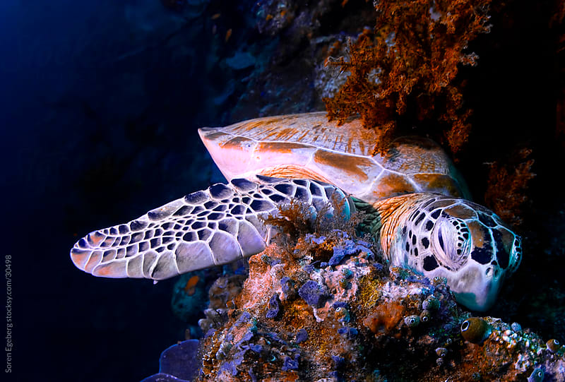 Green Sea turtle resting on coral reef underwater in Malaysia by Søren Egeberg Photography for Stocksy United