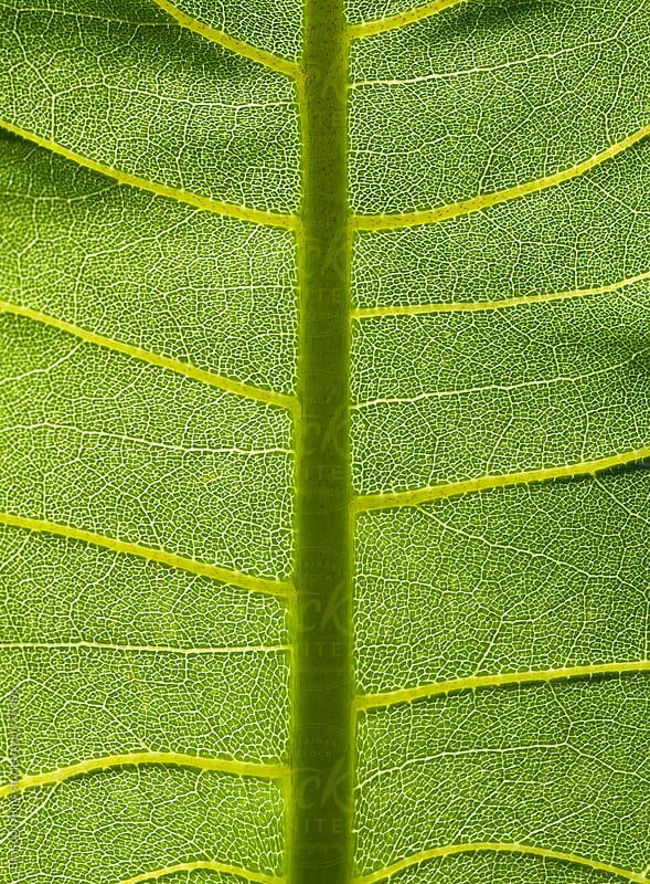 Sunlit Green Leaf Background by Brandon Alms for Stocksy United