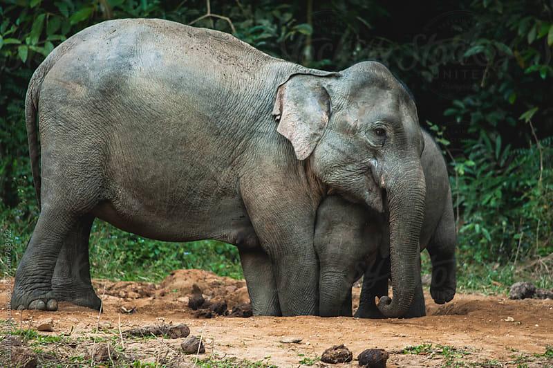 Elephant Family by Chalit Saphaphak for Stocksy United