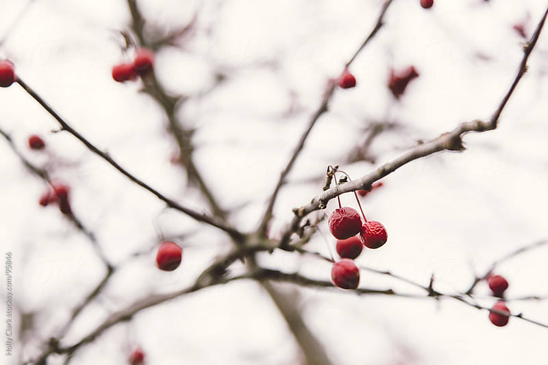 Cherries hang off a barren branch in late fall. by Holly Clark for Stocksy United