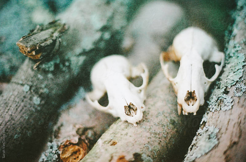 Raccoon Skulls on the Woodpile. by Sarah VanTassel for Stocksy United