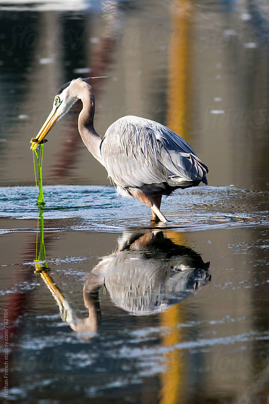 Great Blue Heron Hunting by Nathan French for Stocksy United