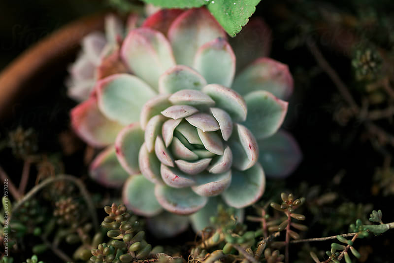 Extreme close up of Echeveria plant in pot by Laura Stolfi for Stocksy United