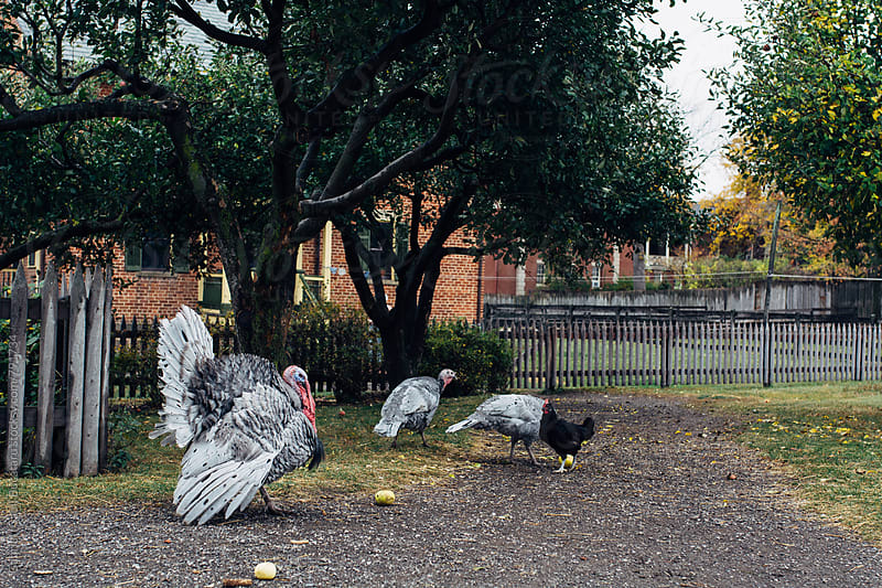 Group of turkeys and one chicken in a yard by Gabriel (Gabi) Bucataru for Stocksy United
