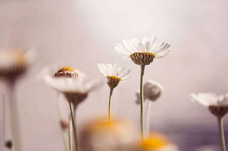 Pale white daisy flowers reach up toward white light by Rachel Bellinsky for Stocksy United