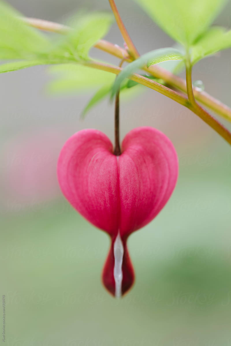 Bleeding Heart Flower Stocksy United