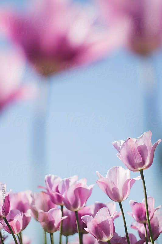 Pink tulips and blue sky by Tari Gunstone for Stocksy United