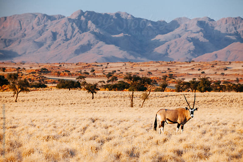Lone Oryx in a grassy plain, Namibia by Micky Wiswedel for Stocksy United