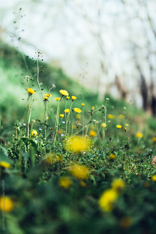 the first yellow flowers on the grass by Javier Pardina for Stocksy United