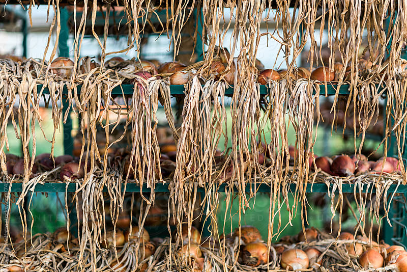 onion stems hanging on metal racks by Deirdre Malfatto for Stocksy United