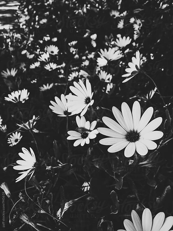 Field of small flowers in black and white by paff for Stocksy United